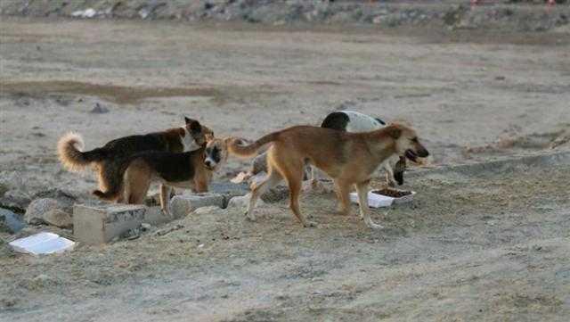 كلاب ضالة تقتل طفلا سعوديا في الأحساء