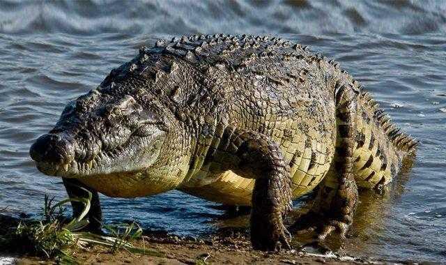 رجل يهرب من كورونا ليقع بين فكي تمساح