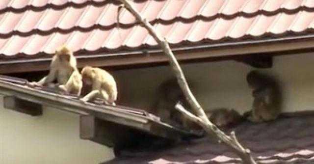 70 قردا يخدعون حارس الحديقة ويهربون في اليابان