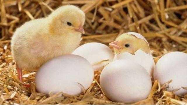 تعرف على سعر البيض في بورصة الدواجن اليوم