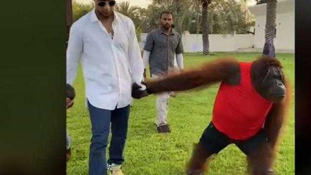 غوريلا تحاول طرح محمد رمضان على الأرض